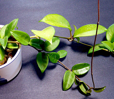 identifying houseplant problems - House Plant Identification By Leaf